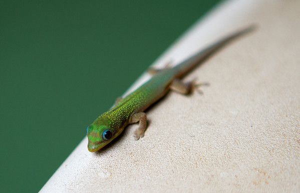 "Baby gecko (about 1.5""), Maui, Hawaii. May 2012"